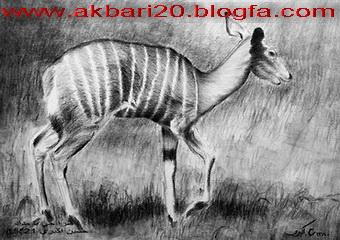 طراحی از آهو از حسین اکبری با مداد